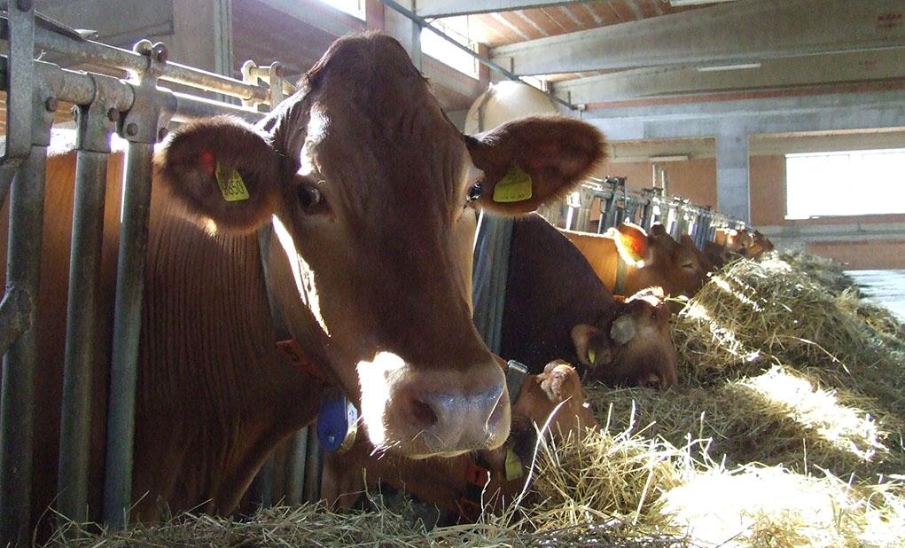 la-villa-mucca-in-stalla